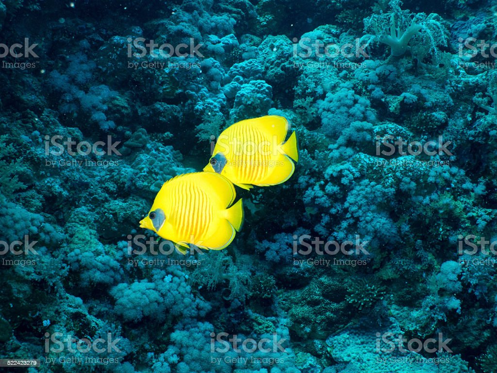 Golden butterflyfish pair with soft corals, Egypt, Red Sea stock photo