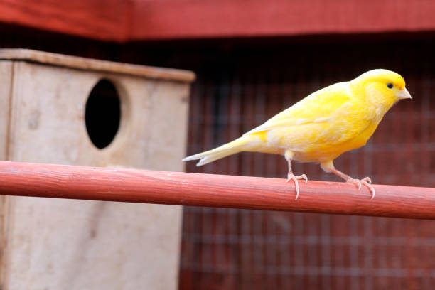 golden canary - canari photos et images de collection