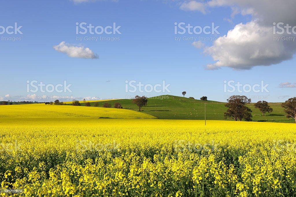 Golden canola flowering in springtime stock photo