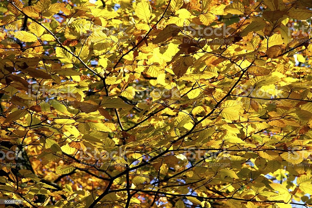 Golden Canopy royalty-free stock photo
