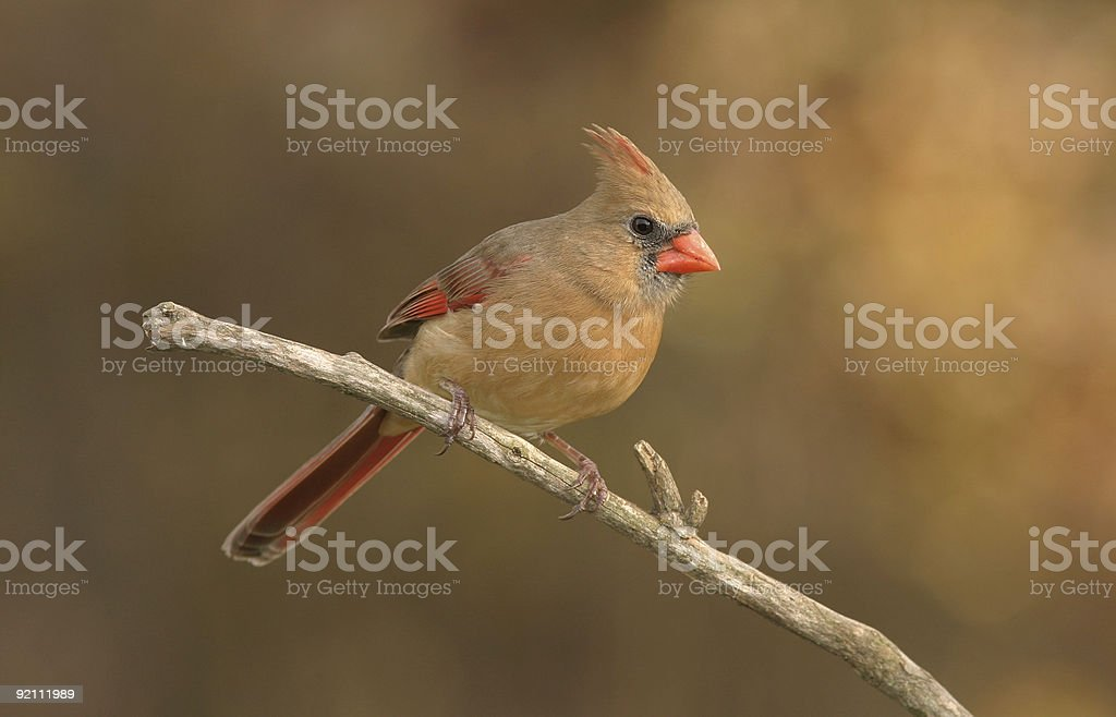 Golden Cardinal royalty-free stock photo