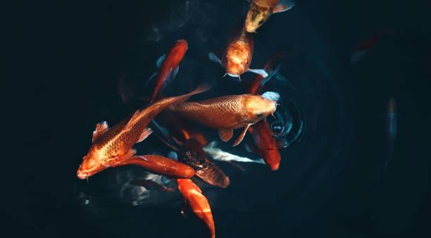goldenen karpfen und koi fische im teich - teich stock-fotos und bilder
