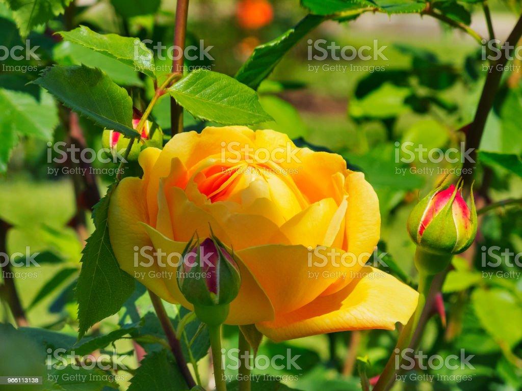 Gouden viering die Austin roos - Royalty-free Achtergrond - Thema Stockfoto