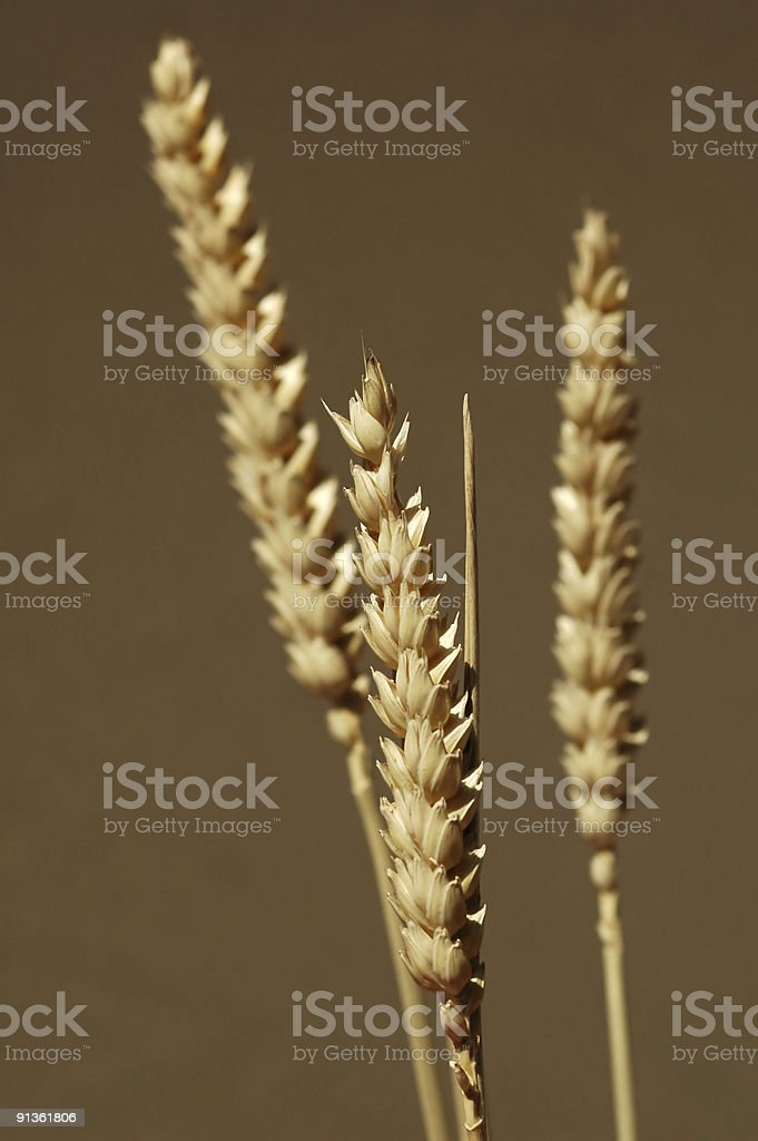 golden cereal royalty-free stock photo