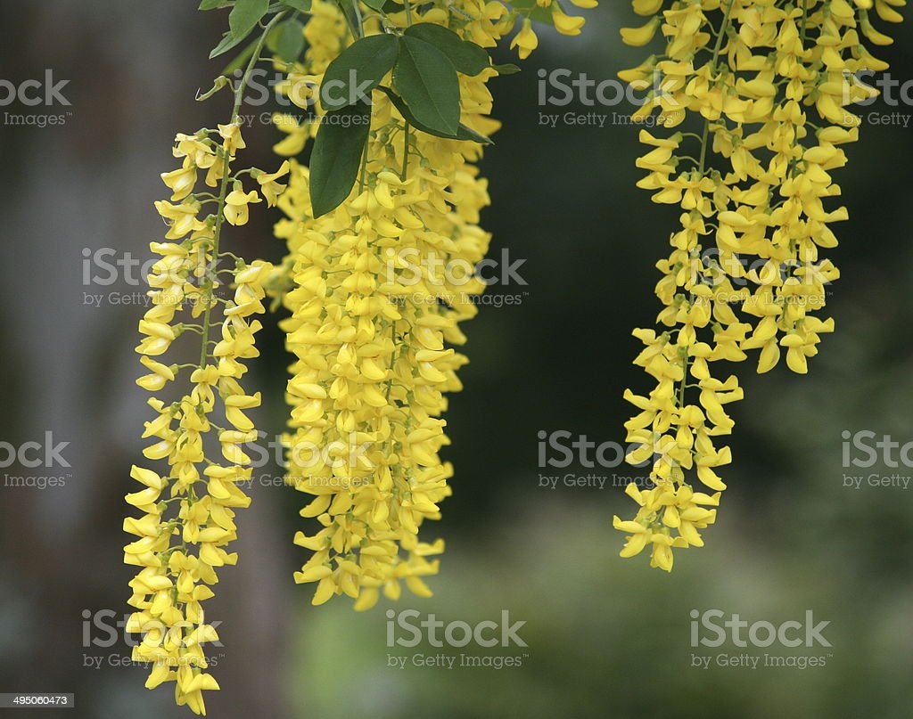 Golden Chain Tree With Long Hanging Yellow Flower Clusters Stock