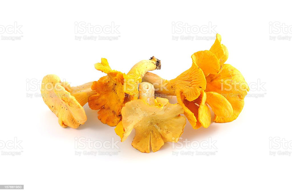 golden chanterelle mushroom  (Cantharellus cibarius) stock photo