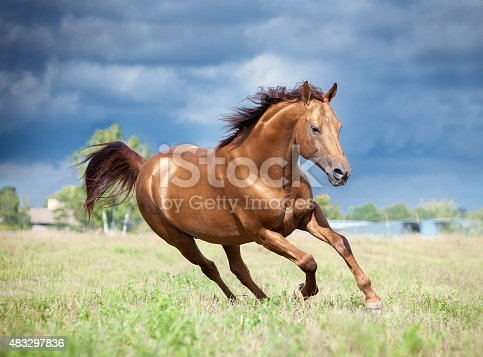 golden chestnut don horse runs free in the field