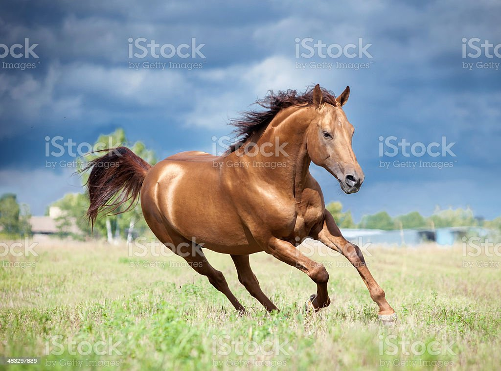 golden chestnut don horse runs free in the field stock photo