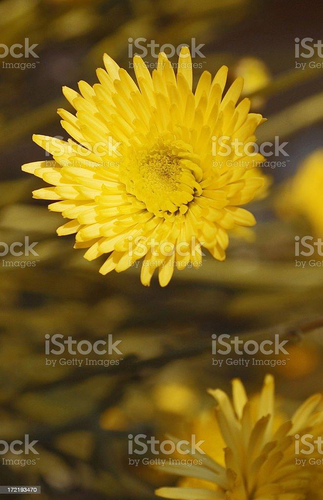 Golden Chrysanthemum Flower royalty-free stock photo