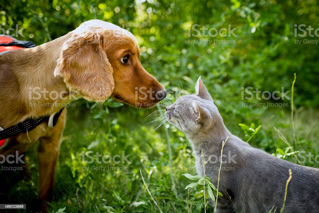 Golden cocker and cat stock photo