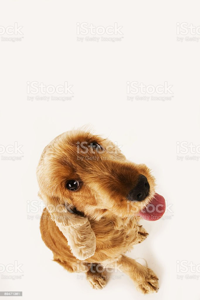 Golden Cocker Spaniel royalty-free stock photo