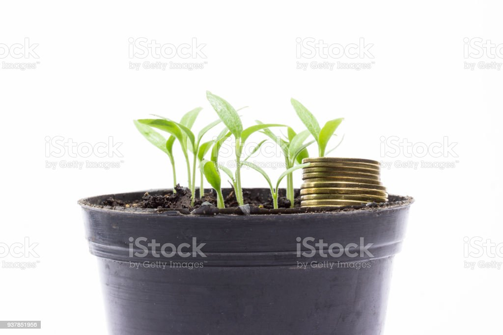 golden coins in a pot with young sprouts of eggplant on a gray background stock photo