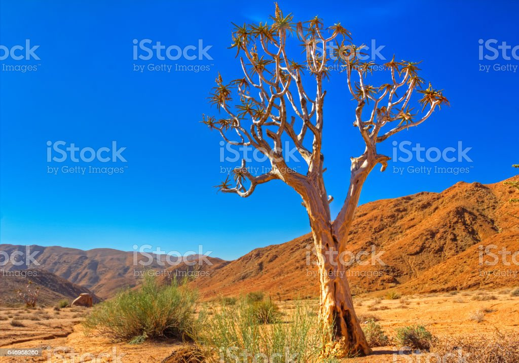 Golden Colored Quiver Tree stock photo
