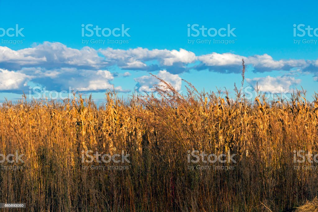 Golden Colored Winter Corn Crop Against Blue Cloudy Sky royalty-free 스톡 사진