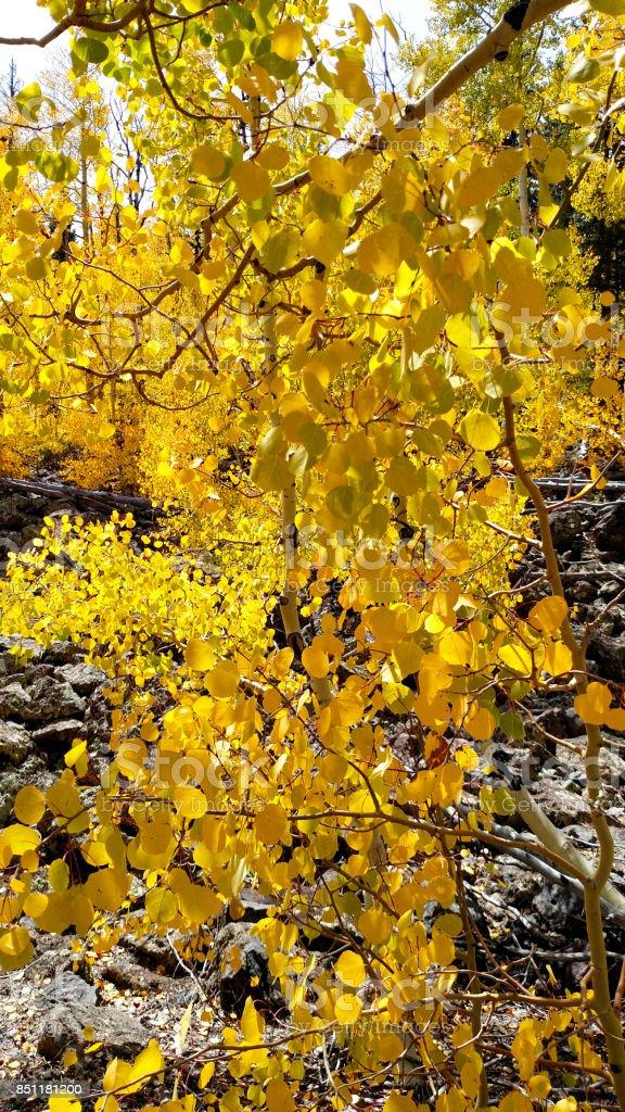 Golden colors of autumn aspen leaves on edge of highway UT-14 near Navajo Lake Utah stock photo