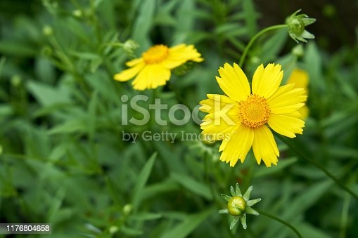 Golden coreopsis blooming in the park.