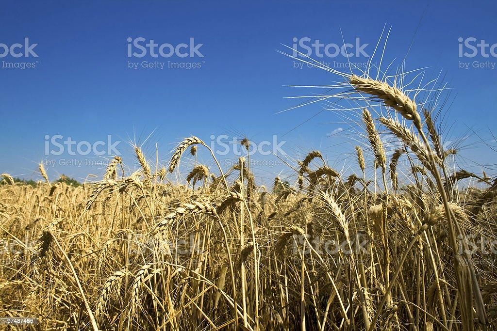 Golden corn field royalty-free stock photo