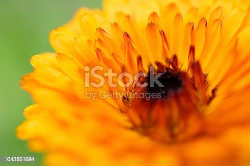 Golden Cornflower in Macro