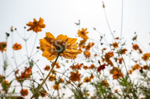 golden cosmos flower under blue sky view at low angle