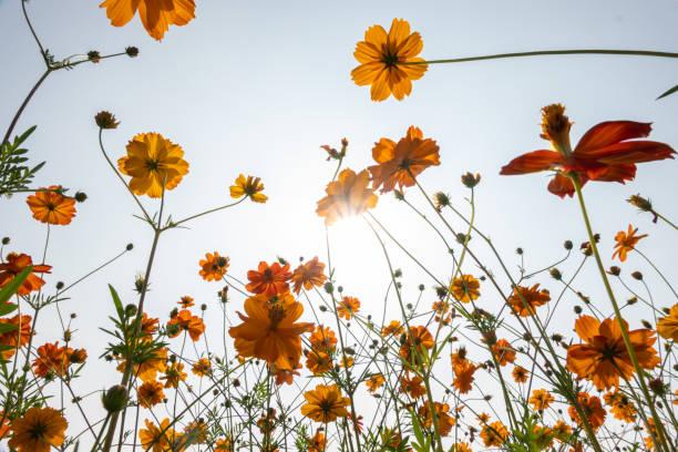 flor de cosmos de oro bajo vista azul del cielo en ángulo bajo - foto de stock