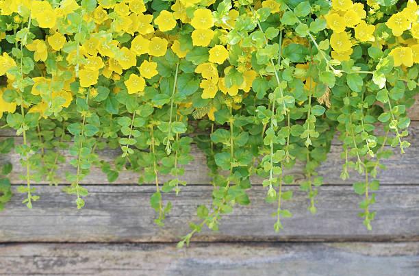 ゴールドとる Jenny (Lysimachia nummularia -Aurea ) ストックフォト
