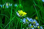 Yellow Crocus, Crocuses or Croci That Blooms in the Meadow. Crocus, Plural Crocuses or Croci is a Genus of Flowering Plants in the Iris Family. A Single Crocus, a Meadow Full Of