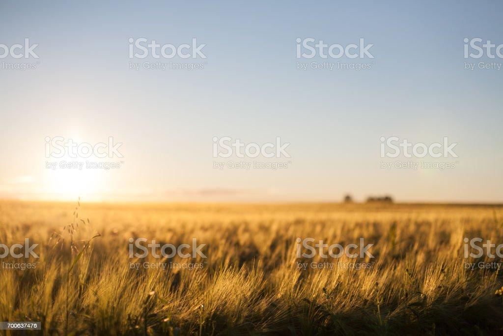 Goldene Ernte Feld mit einem unscharfen Sonne Halo Hintergrund – Foto