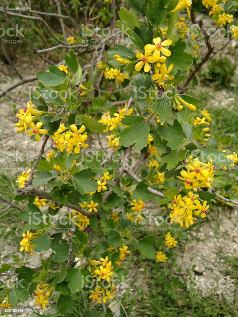 Golden currant. Small golden-yellow flowers on a bush. stock photo