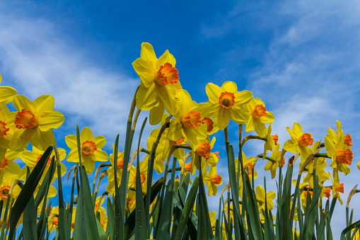 golden daffodil flowers close up with blue sky background