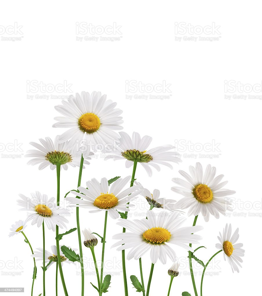 Golden Daisies On White Background stock photo