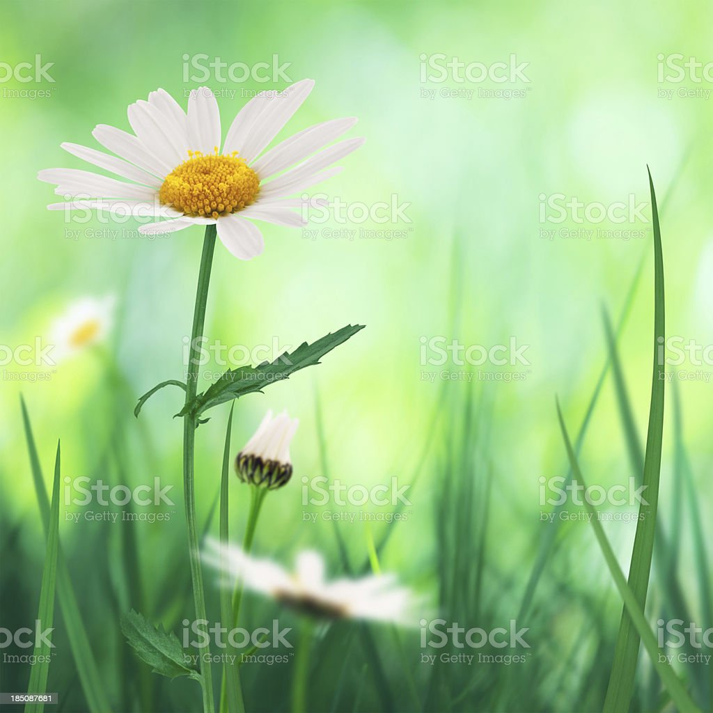 Golden Daisies royalty-free stock photo