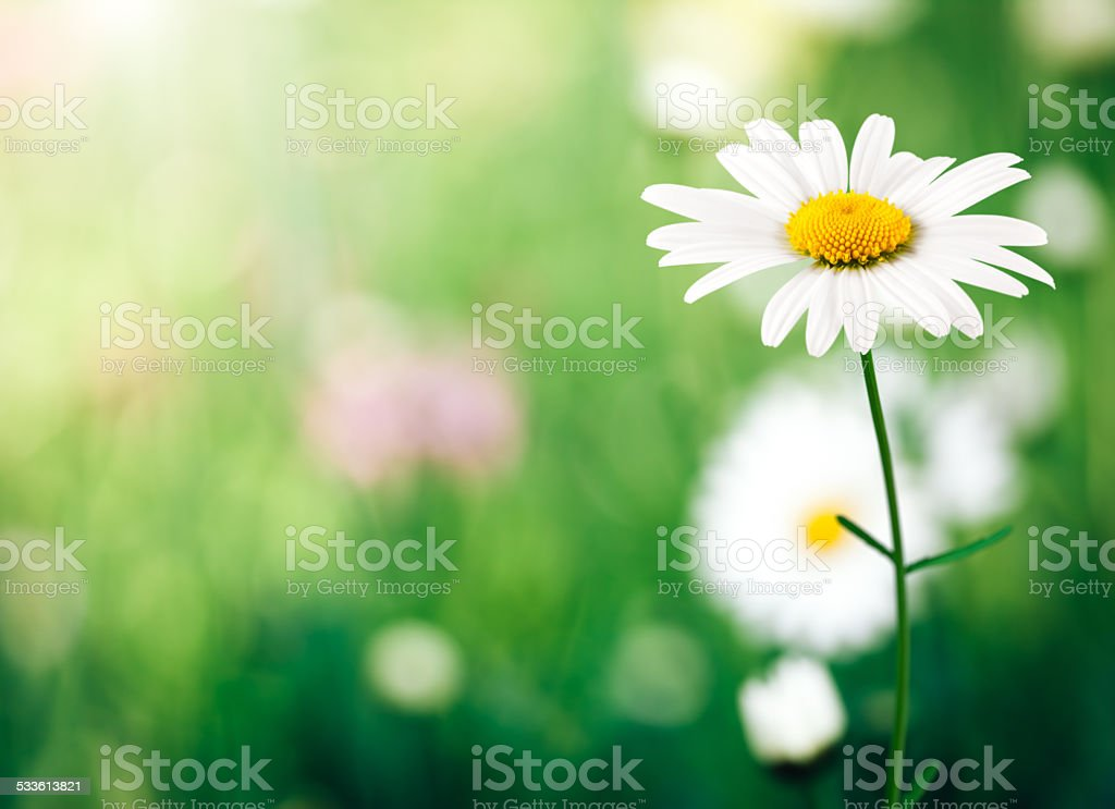 Golden Daisy stock photo