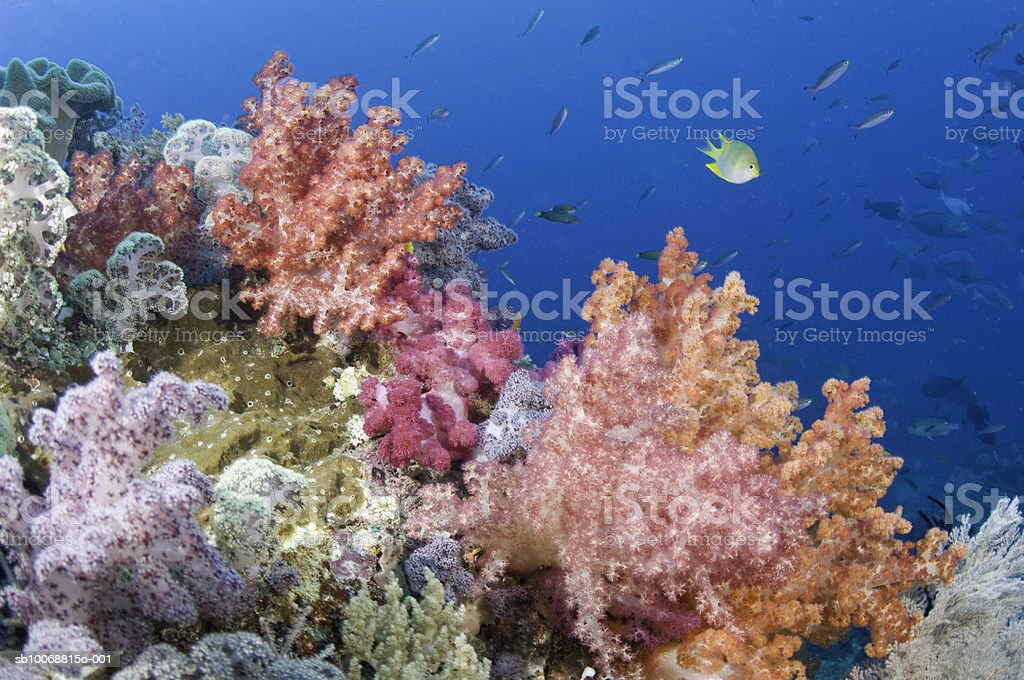 Golden Damefish (Amblyglyphidodon aureus) amongst other fish on reef, underwater foto de stock libre de derechos