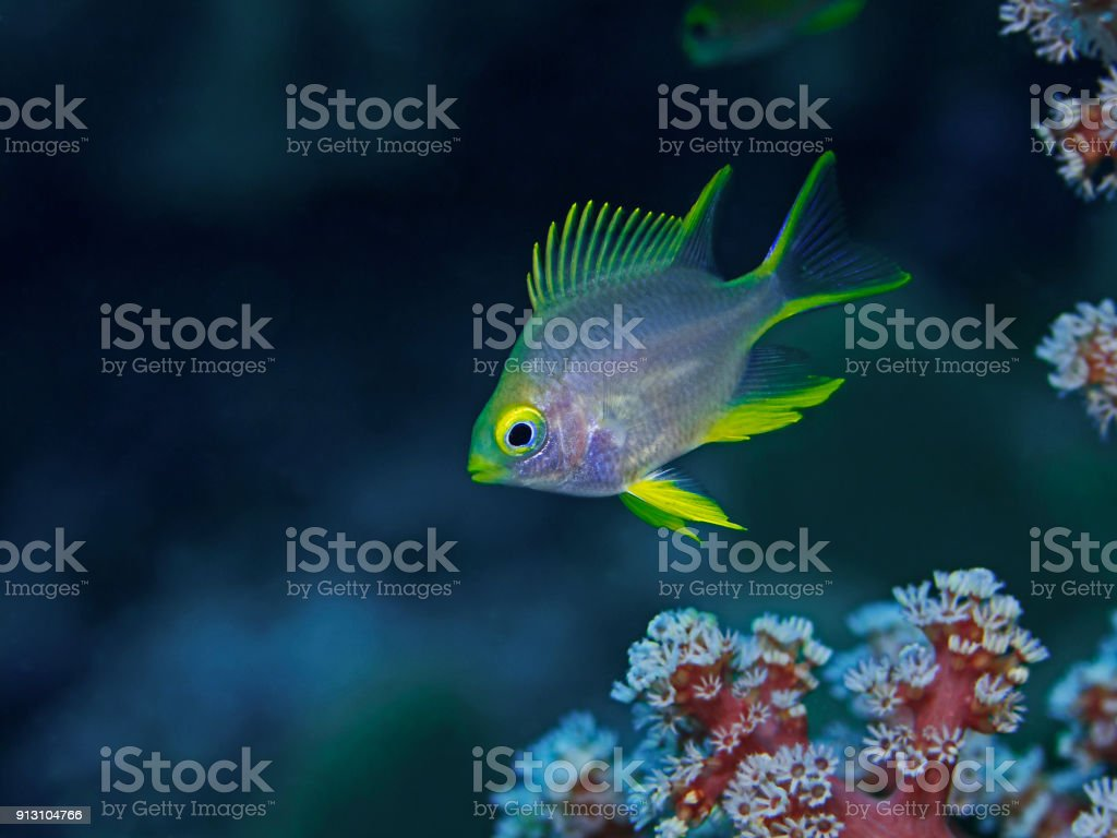 Golden Damsel, Goldener Riffbarsch (Amblyglyphidodon aureus) stock photo