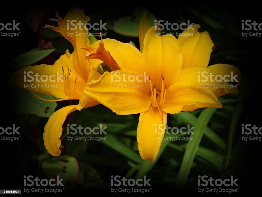 Golden Day Lily stock photo