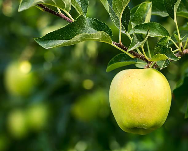 pomme golden delicious pendus aux arbres - golden photos et images de collection