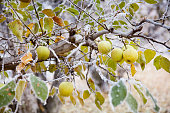 A golden delicious apple orchard in winter with apples and autumn leaves still on the tree in Washington state