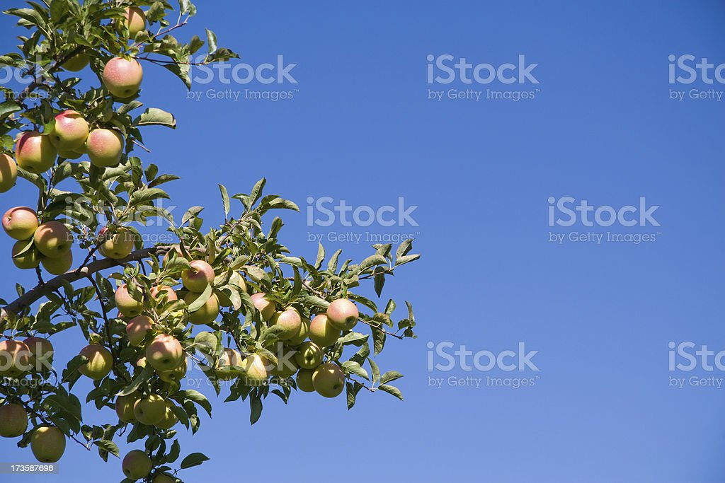 Golden delicious apples royalty-free stock photo