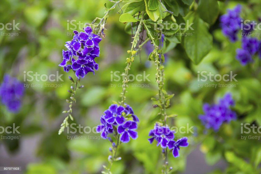 Golden Dew Drop flower. stock photo