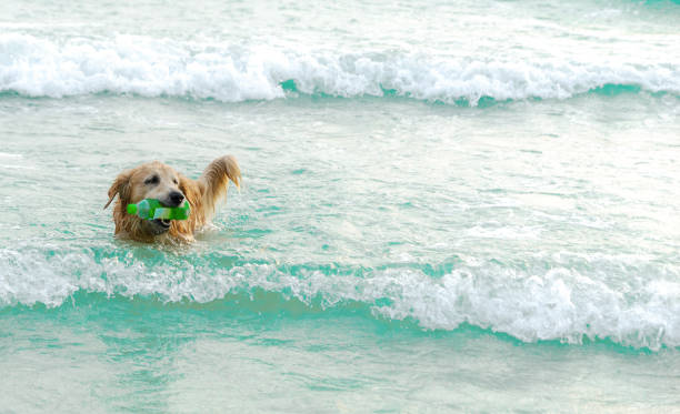Golden dog collecting garbage in the sea stock photo