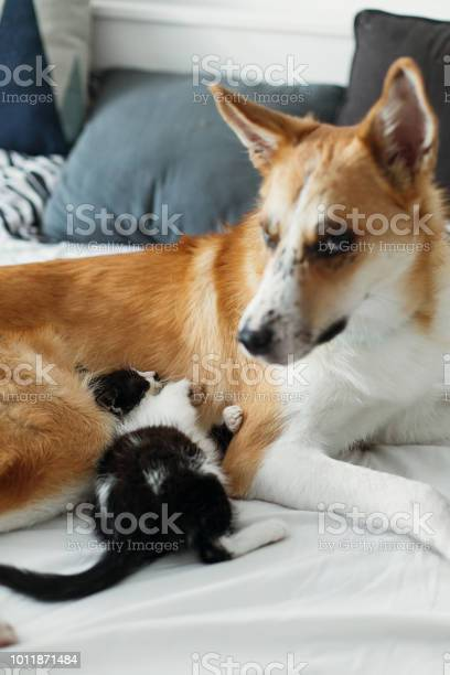 Golden dog playing with cute kitty on bed with pillows in stylish picture id1011871484?b=1&k=6&m=1011871484&s=612x612&h=ecggenbuouaqpvcj3fs1tz1xchvbvc2mljzl5f rk4i=