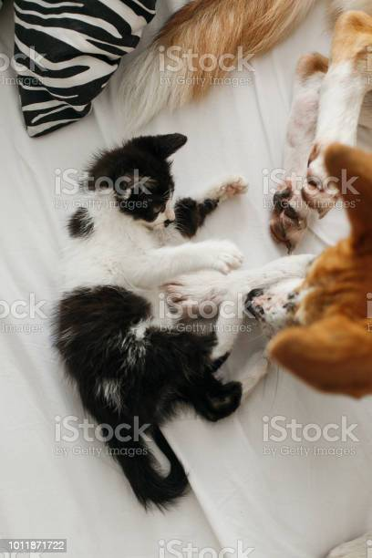 Golden dog playing with cute kitty on bed with pillows in stylish picture id1011871722?b=1&k=6&m=1011871722&s=612x612&h=7k1aprihjjw 9sgpr q20cgvdpeuwxfxundvivcf3tk=
