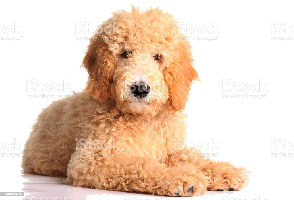 Golden Doodle Puppy Stock Photo Download Image Now Istock