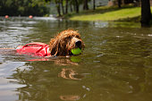 Golden Doodle with Life Jacket Swimming After A Tennis Ball In the Lake