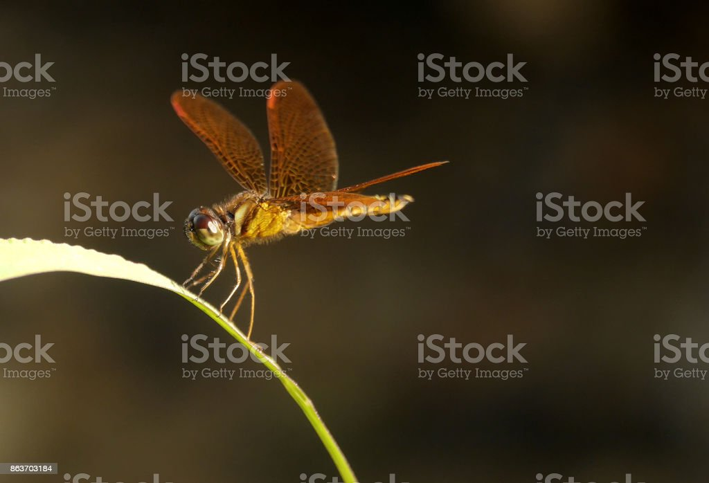 Golden dragonfly at sunset macro stock photo