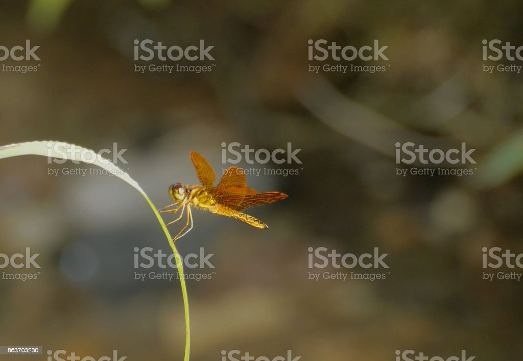Golden dragonfly at sunset stock photo