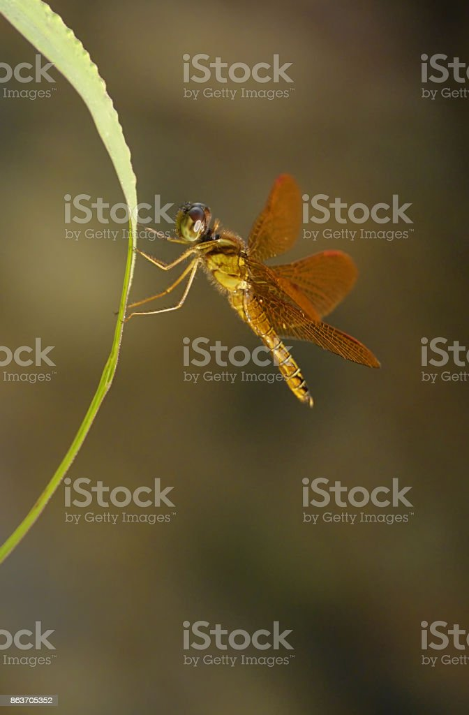Golden dragonfly at sunset vertical stock photo