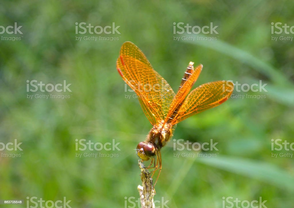 Golden dragonfly feeding stock photo