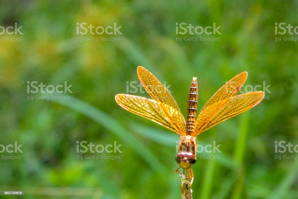 Golden dragonfly landing stock photo