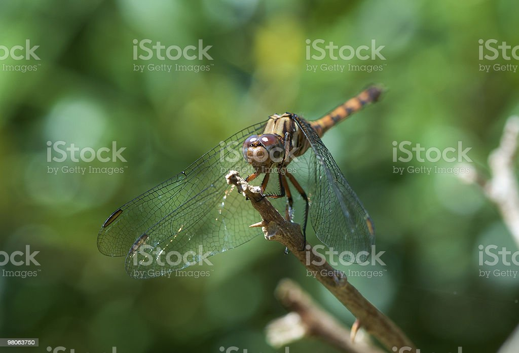 Golden Dragonfly royalty-free stock photo